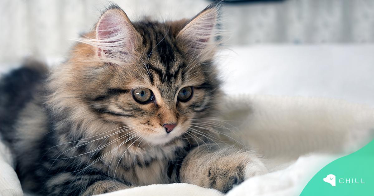 Какво да приготвим за котенцето: списък на най-необходимото?