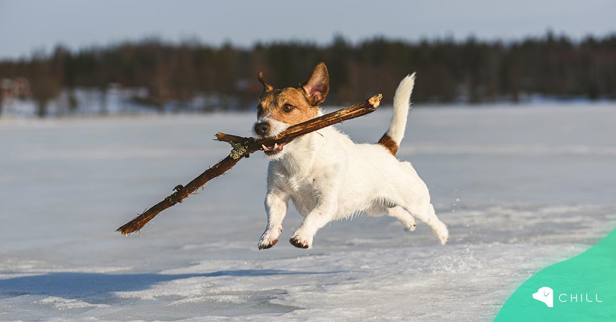 Защо кучето дъвче дървени пръчки и безопасно ли е това?