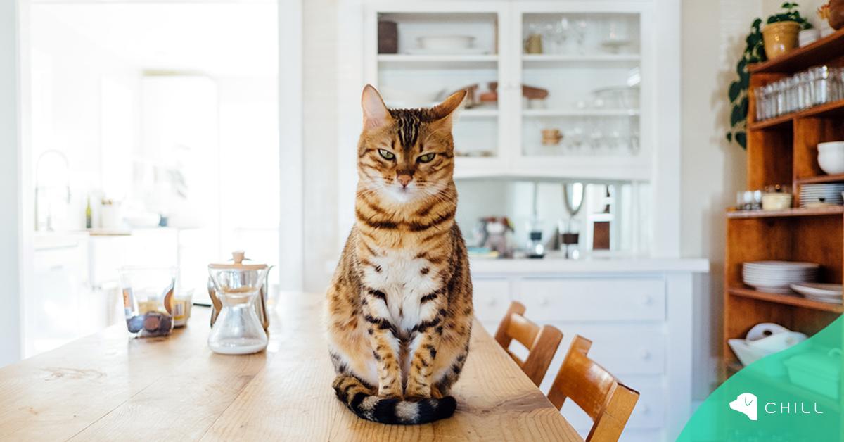 Защо котката се качва на масата и как да я отучим от това?